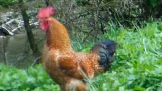 Pianie Koguta, rooster sound.