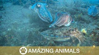 Cuttlefish Throw Down In Underwater Fight Club
