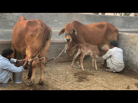 Beauty of Pakistan Pure Red Gold Sahiwal Cattle Farm || Mailk Taimoor Haidry Dairy Farm Pakpatan