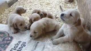 Too Cute Golden Retriever Puppies Barking 3 Weeks Old