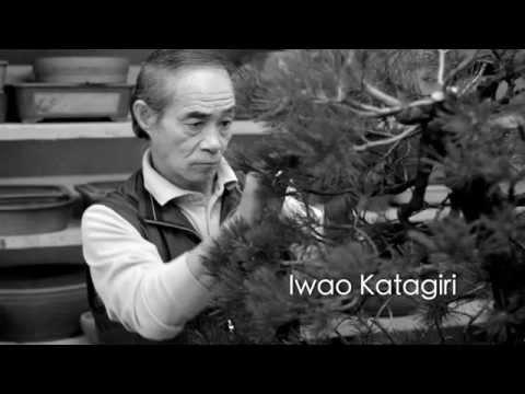 Bonsai Styling - Pinus Mugo Uncinata - Iwao Katagiri - Werner M. Busch