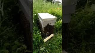 miel abeille essaimage apiculture
