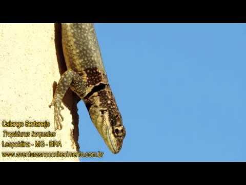 Calango Sertanejo (Tropidurus torquatus) - RÉPTEIS - BIOLOGIA