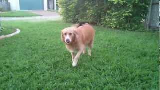 Trinny The Golden Retriever / Border Collie Cross