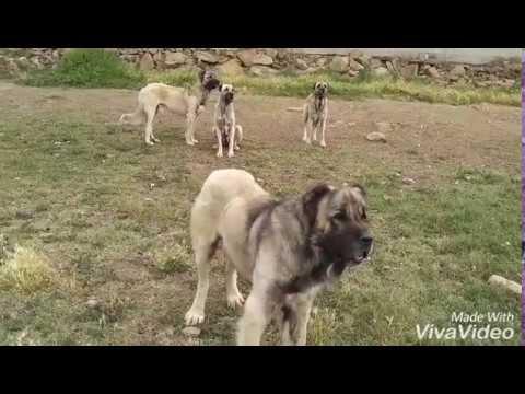 Malaklı Çoban Köpekleri