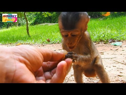 Lori baby get food from tourists and me | Good to see lori eat much like that | Monkey Daily 842