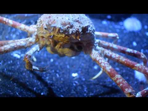 Giant Alaska King Crab at Aquarium of the Pacific