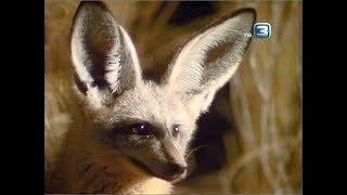 Большеухая лисица. Всё о животных.