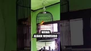 Lovebird Wawa albaik garung wonosobo(2)