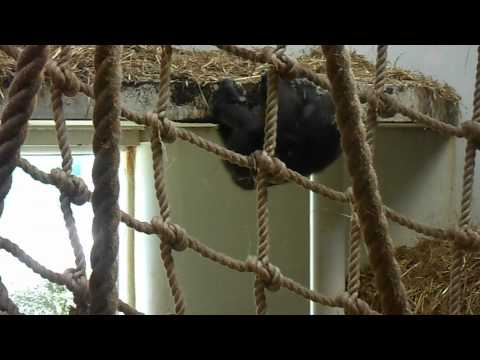 Baby Gorilla Throws Tantrum