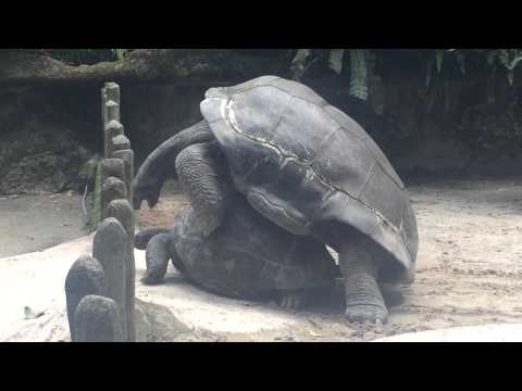 Giant Tortoise Mating