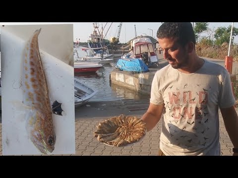 Karadeniz de çapari atarken Zehirli 😱 Trakonya yla tanıştık (Çarpan balık)