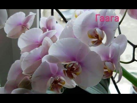 Утомилась с пересадкой орхидеи Гаага -- самой крупной , и самой старой моей орхидеи.