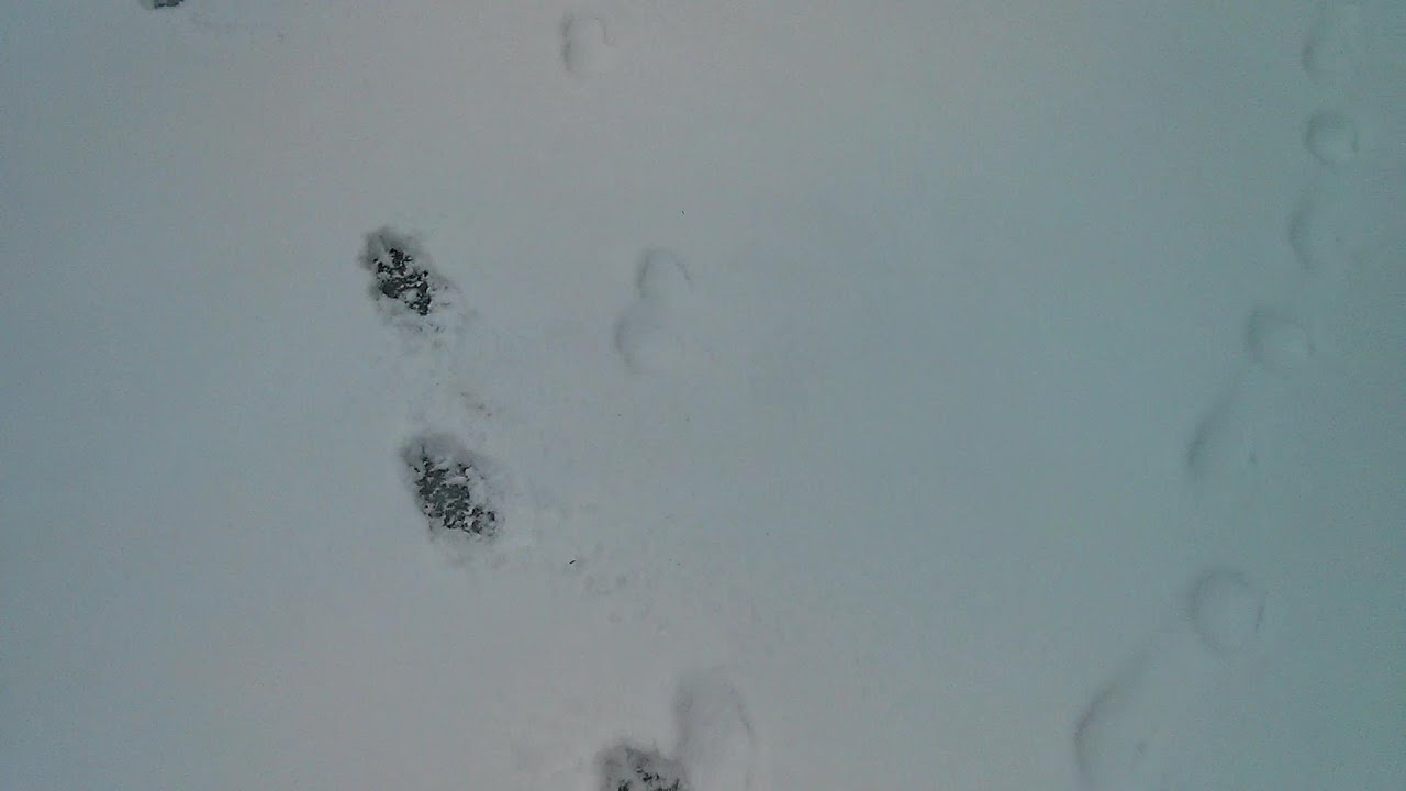 Coyote tracks vs dog tracks in snow prt2 youtube publicscrutiny Choice Image