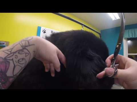 Grooming Gus the Newfoundland Dog