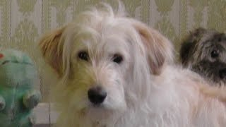 Cute Goldendoodle Dog Training Video Online. Funny Golden Retriever Poodle Mix Ally. Set47 2015 Rep1