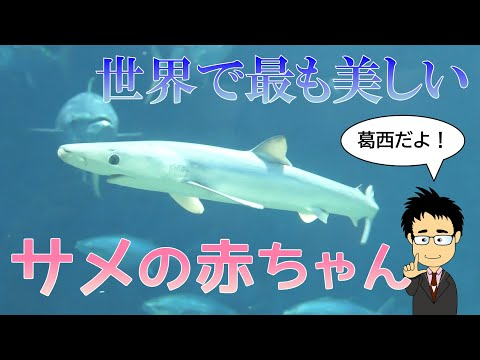 青く美しいヨシキリザメの赤ちゃんが葛西臨海水族園に登場【水族館】【サメ解説】【貴重】