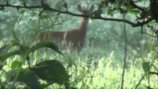 Roebuck stalking 222 rem rifle cam