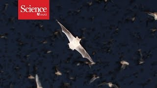 "Meet ""Chirocopter"": A drone that flies  within swarms of bats"