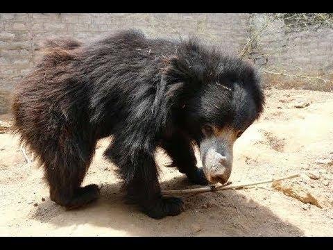 Морду медведя стягивала веревка, и он танцевал от боли