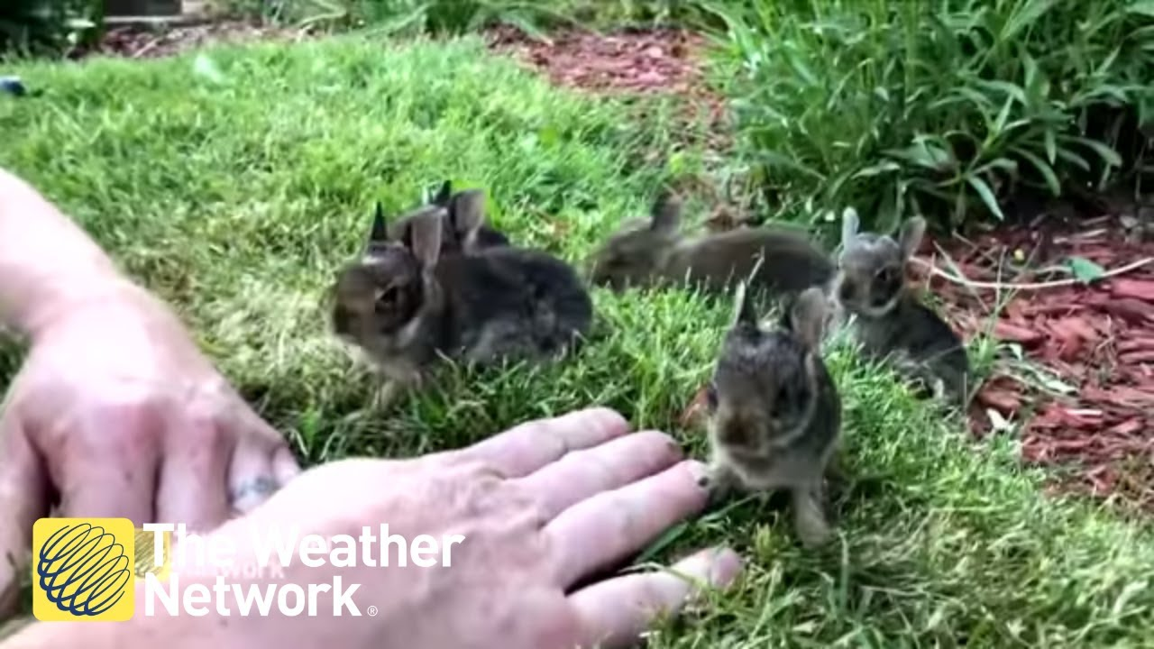 Man coaxes nest of 6 cute baby bunnies out from his garden