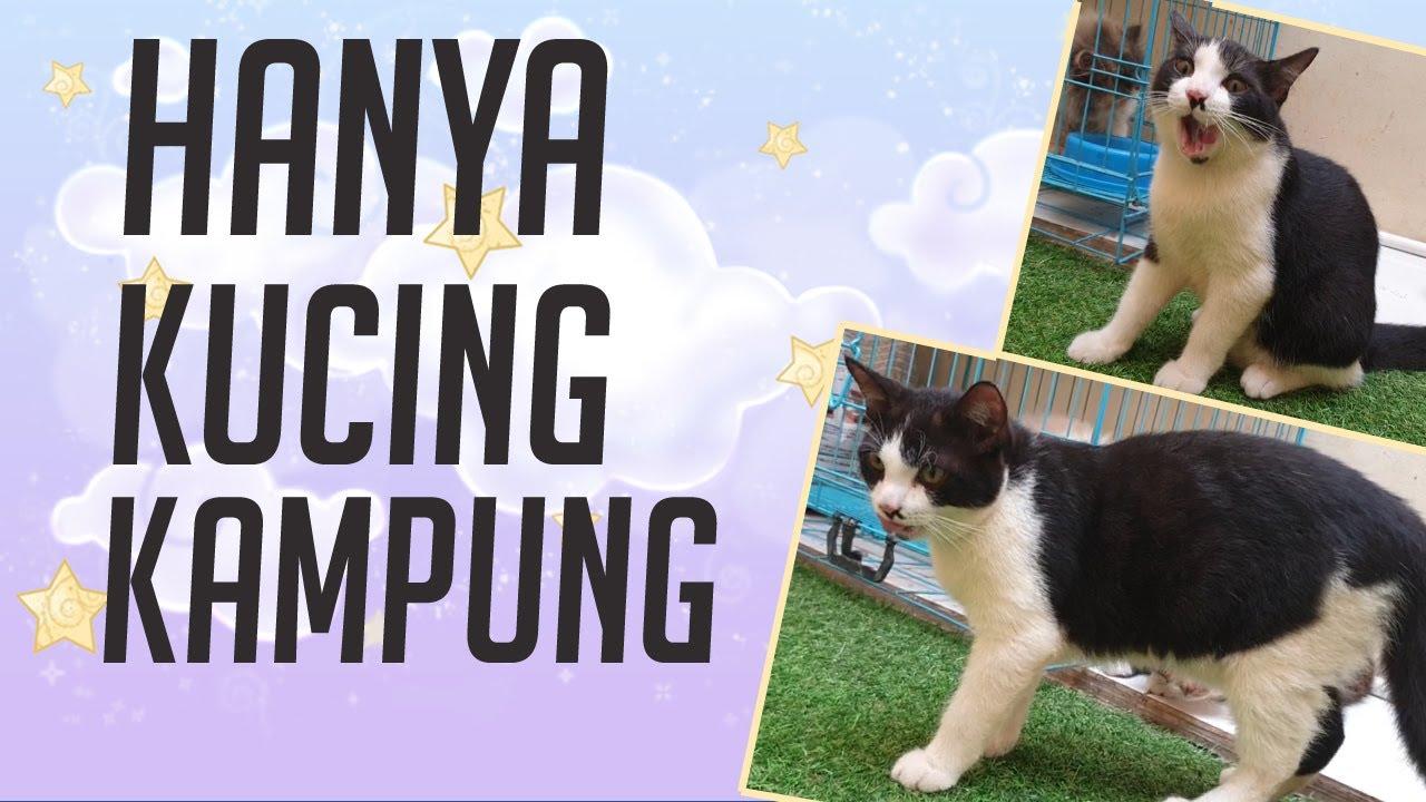 Biaya Perawatan Kucing Kampung Agar Bulunya Lebat Youtube