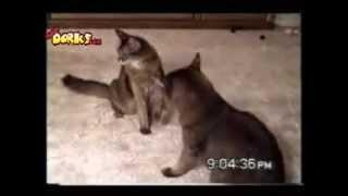 VIDEOS DE GATOS CHISTOSOS