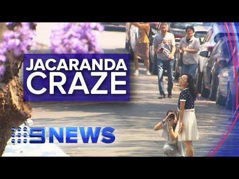 Jacaranda Trees Cause Chaos On Sydney Streets | Nine News Australia
