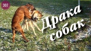 Драка собак.Лайка напала на боксёра