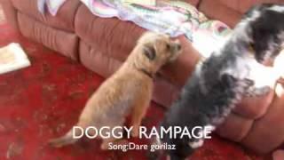 Border Terrier Madness 4