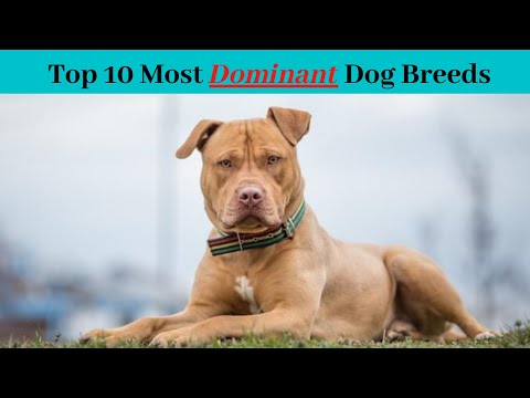 top-10-most-dominant-dog-breeds