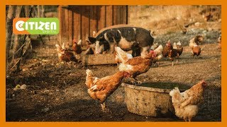 SMART FARM | Focus on large scale poultry and pig farming in Meru