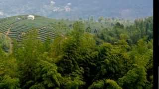 鹿谷鄉的茶園竹林與銀杏林 Tea plantation and bamboo forest in central Taiwan 20130320