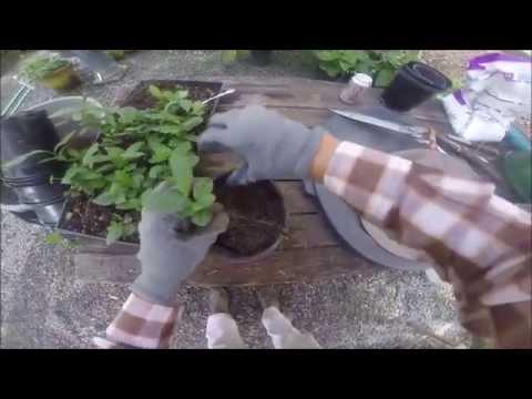How to Transplant Tea Plant Seedlings (Camellia sinensis)