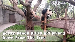 Bossy Panda Pulls His Friend Down From The Tree | iPanda