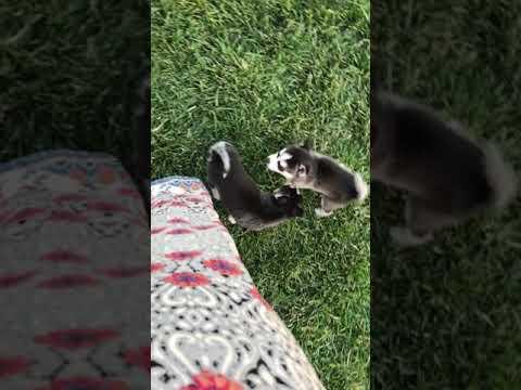 Puppy play time from Kikas Klee Kai