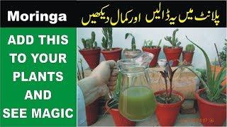 Moringa Juice for Domestic Plants | SEE THE MAGIC