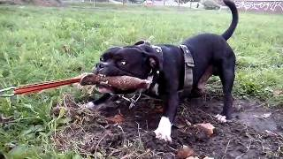Akim Staffordshire Bull Terrier Tug Of War