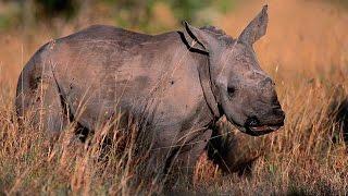 Grandes documentales - Rinocerontes, la maldición del cuerno mágico