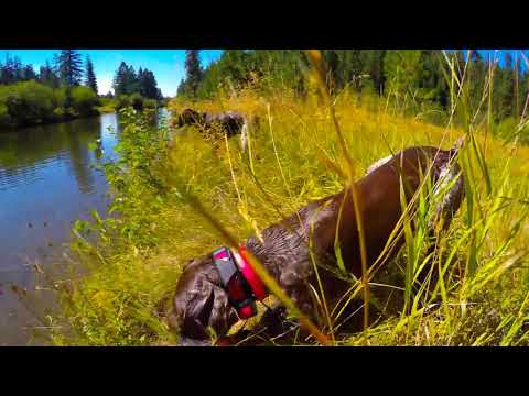 Water Dog - German Shorthaired Pointer Loves to Swim