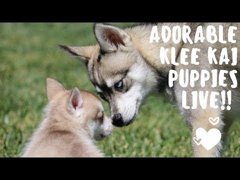 Adorable Alaskan Klee Kai (miniature husky) puppies LIVE