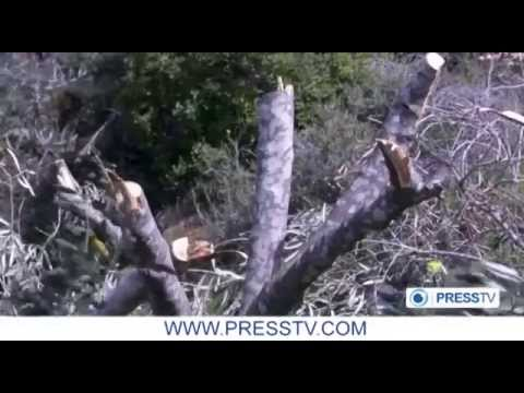 Israeli settlers uproot olive trees in occupied West Bank