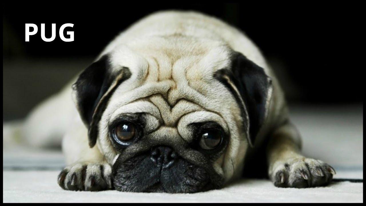 Cute Pug Pets Dog breeds
