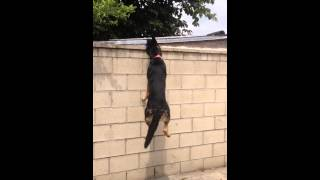 German Shepherd Gets Squeeky Bone Off The Fence Yeah!!
