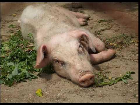 Вьетнамские свиньи болеют африканской чумой