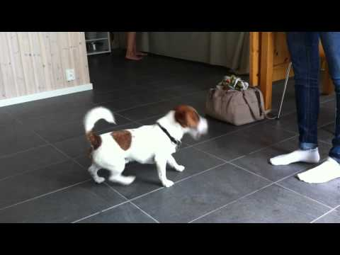 Jack Russell terrier tricks