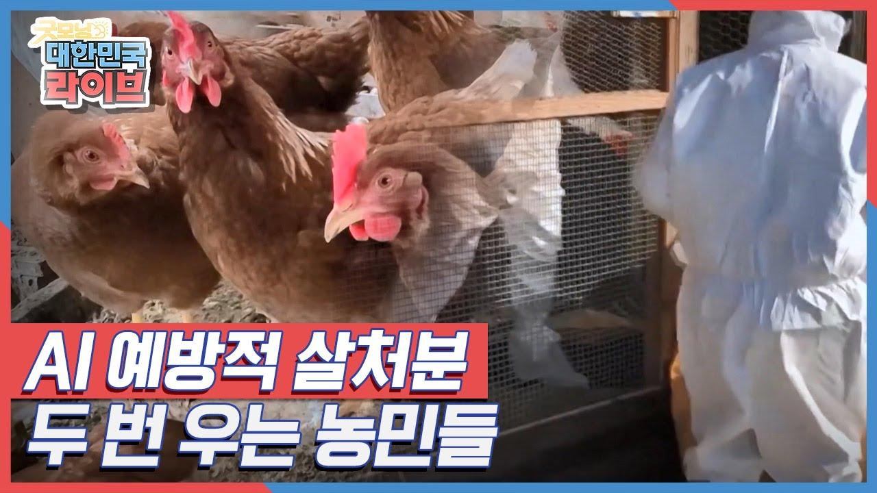 AI 발생 농가로부터 3km 이내에 있다는 이유로, 살처분된 3만 7,000마리의 닭 KBS 210302 방송