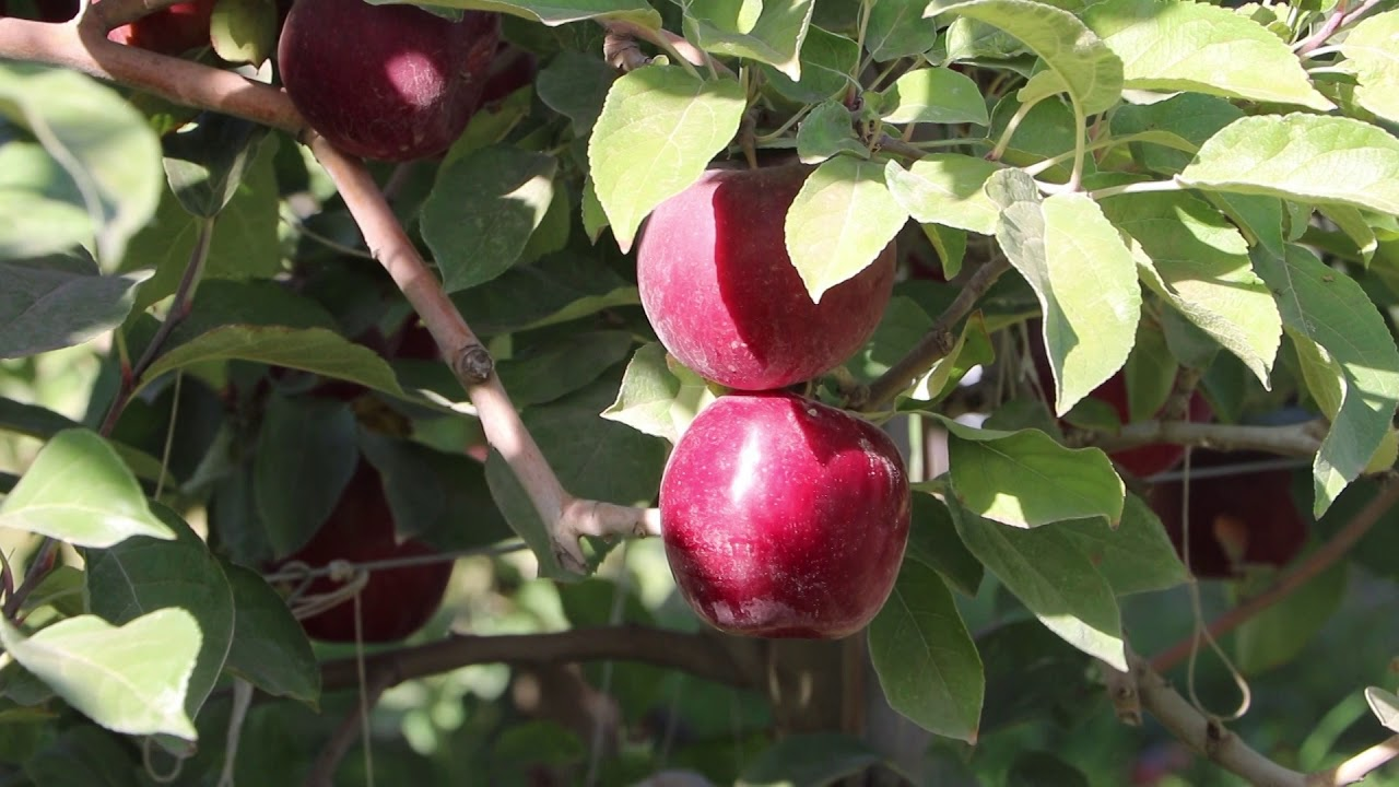 Apple Growers excited about Cosmic Crisp debut