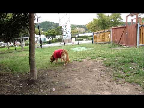 【てつの散歩】長良川SA ドッグラン ゴールデンレトリバー(Golden Retriever)