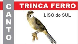 100% CANTO LISO do SUL - TRINCA FERRO ou TIA CHICA ou PIXARRO - #3